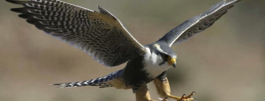 Falcon is learning to fly…